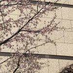 桜?梅??