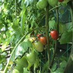 グリーンカーテン収穫